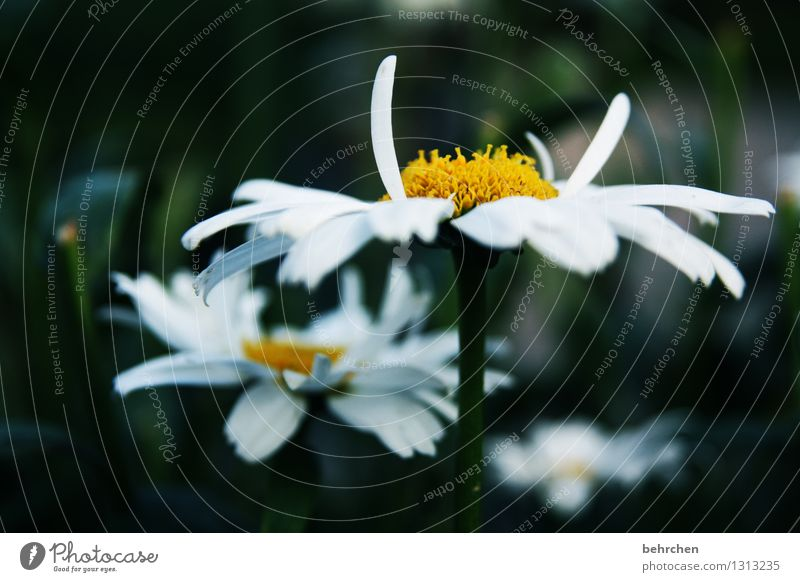 stand Nature Plant Spring Summer Autumn Flower Leaf Blossom Marguerite Garden Park Meadow Blossoming Fragrance Faded Growth Beautiful Yellow White Hope Belief