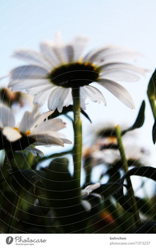 dwarf perspective Nature Plant Sky Summer Autumn Beautiful weather Flower Leaf Blossom Marguerite Garden Park Meadow Blossoming Fragrance Faded Growth Sadness