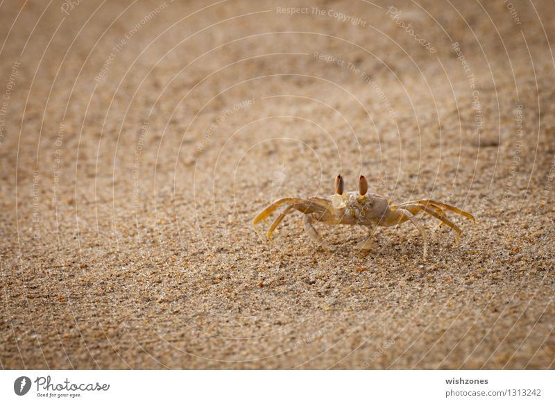 Crab on the Beach Seafood Shrimp Animal Sand Coast Ocean 1 Going Maritime Speed Yellow Gold Watchfulness Curiosity Colour photo Exterior shot Close-up Detail