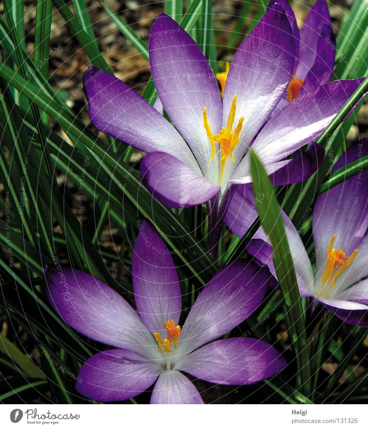 Close up of purple crocus blossoms Spring March April Wake up Plant Flower Blossom Crocus Blossoming Blossom leave Oval Long Thin Narrow Violet White Yellow