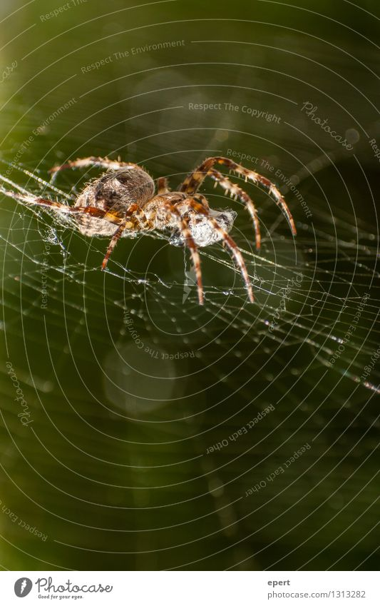 administrator Animal Spider 1 Spider's web Net Observe Crouch Crawl Wait Watchfulness Contentment Nature Colour photo Exterior shot Close-up