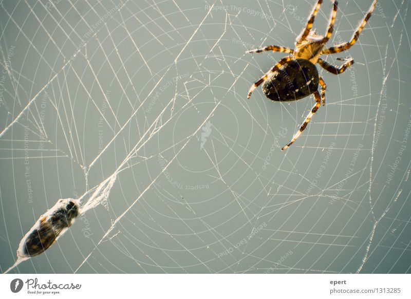 Good Deposited Animal Dead animal Bee Spider Wasps 2 Cocoon Spider's web Net Sewing thread Catch Hunting Crawl Threat Natural Watchfulness Self Control Life