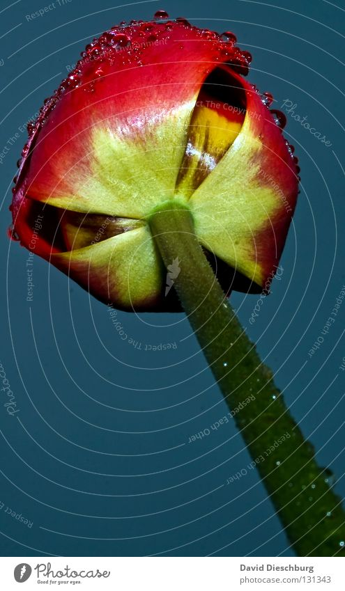 Tulip not from Holland II Netherlands Flower Plant Living thing Blossom Stalk Red Drops of water Dew Meadow Flower meadow Rain Background picture Spring Summer
