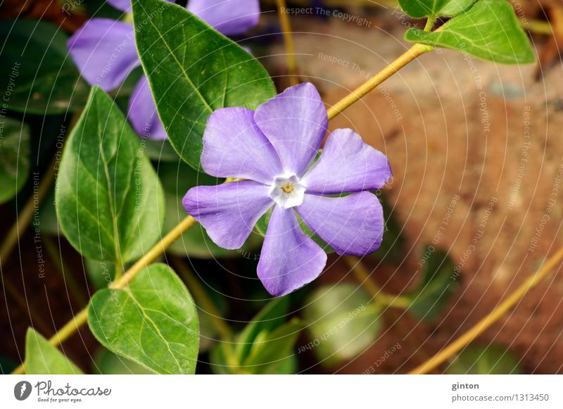 Small evergreen Nature Plant Flower Bushes Leaf Blossom Crawl Thin Green Violet Vinca minor purple blossom half shrub Ground Earth Trailing plant Delicate