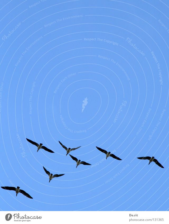 straight ahead Canadian goose Goose Bird Blue sky Together Society Formation Joy Communicate Flying fly Aviation Freedom Far-off places Multiple Wing