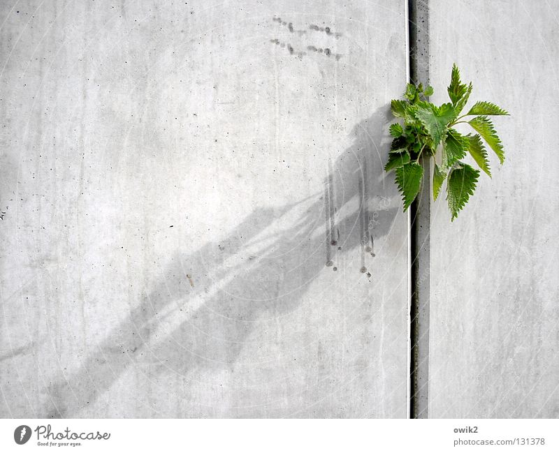 Nature Plant Leaf Environment Wall (building) Spring Healthy Wall (barrier) Gray Growth Free Success Concrete Construction site Might Brash
