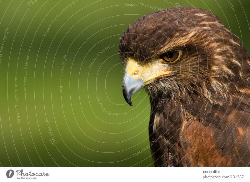 Beautiful Animal Eyes Freedom Brown Bird Flying Feather Hunting Captured Beak Motionless Checkmark Kill Eagle Plumed