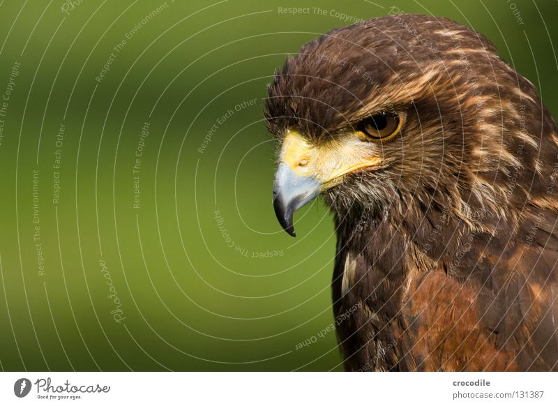 Beautiful Animal Eyes Freedom Brown Bird Flying Feather Hunting Captured Beak Motionless Checkmark Kill Eagle Plumed