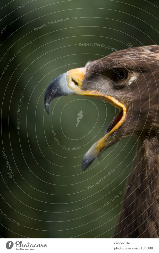 Beautiful Animal Eyes Freedom Brown Bird Flying Open Feather Hunting Scream Captured Beak Motionless Checkmark Undo