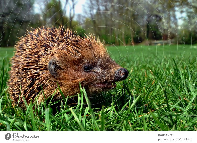 "spring awakening Nature Landscape Animal Wild animal Hedgehog Mammal Living thing Thorny 1 Movement Discover Walking ""animal animal world spiny animal Spring"