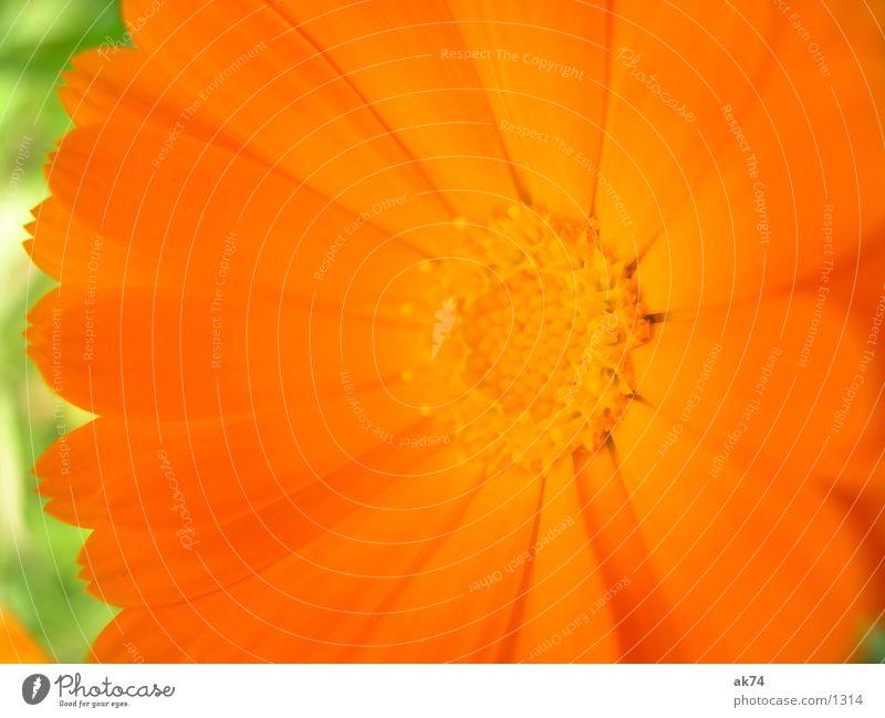 Flower Green Plant Blossom Orange