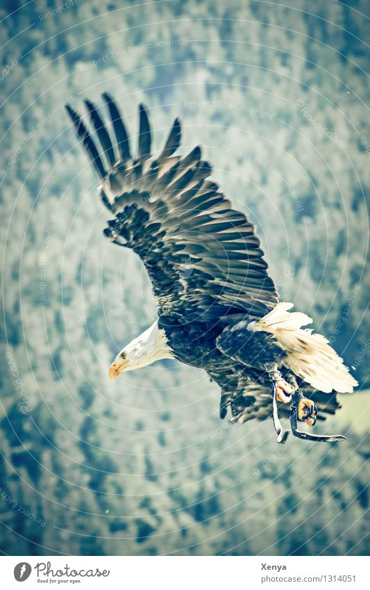 white-tailed eagle Animal birds Grand piano White-tailed eagle 1 Flying Aggression Yellow green Black Force Floating Feather Free Speed Subdued colour