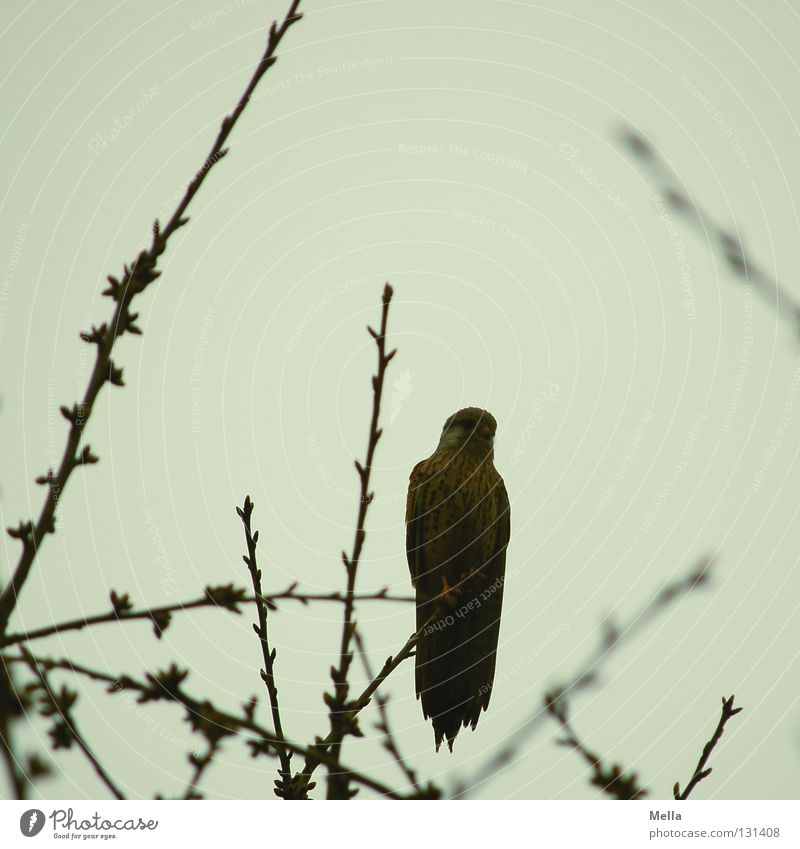 falcon spring Environment Nature Plant Animal Tree Treetop Twigs and branches Bird Falcon Kestrel 1 Crouch Sit Free Natural Gray Dreary Colour photo