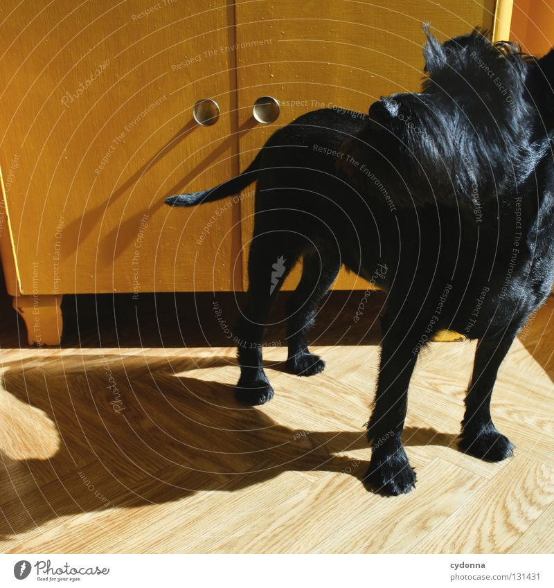 On the dog come Dog Miniature Schnauzer Black Small Animal Sweet Cute Light Cupboard Chest of drawers Yellow Pelt Glittering Snout Pet Assistant