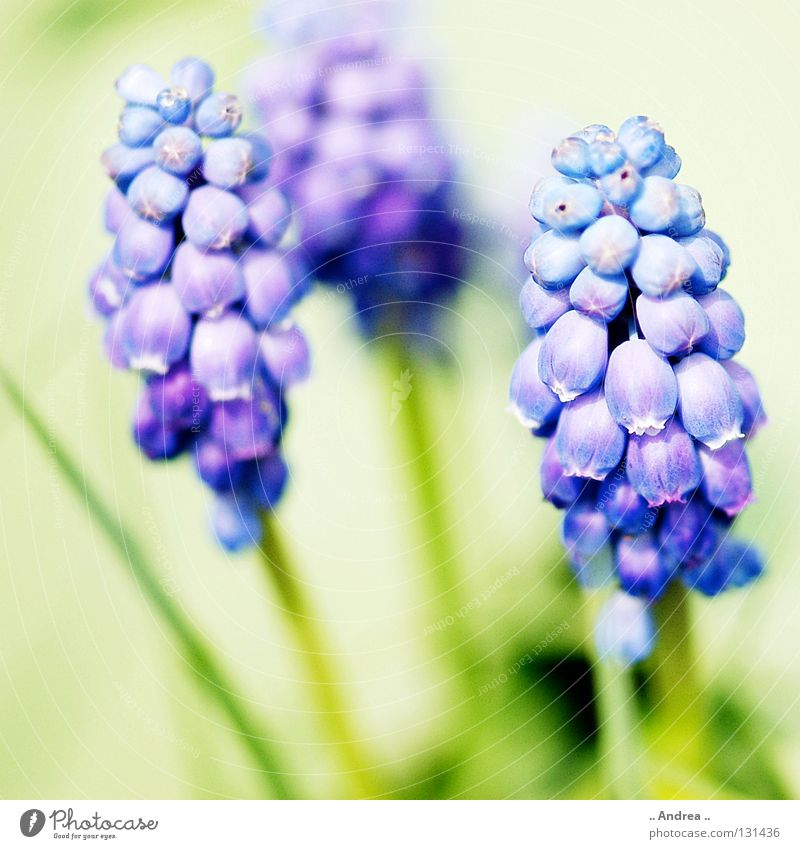 herald of spring Sun Plant Sky Spring Flower Blossom Blossoming Fragrance Illuminate Happiness Blue Green Violet White Perspective Muscari Sky blue Bell