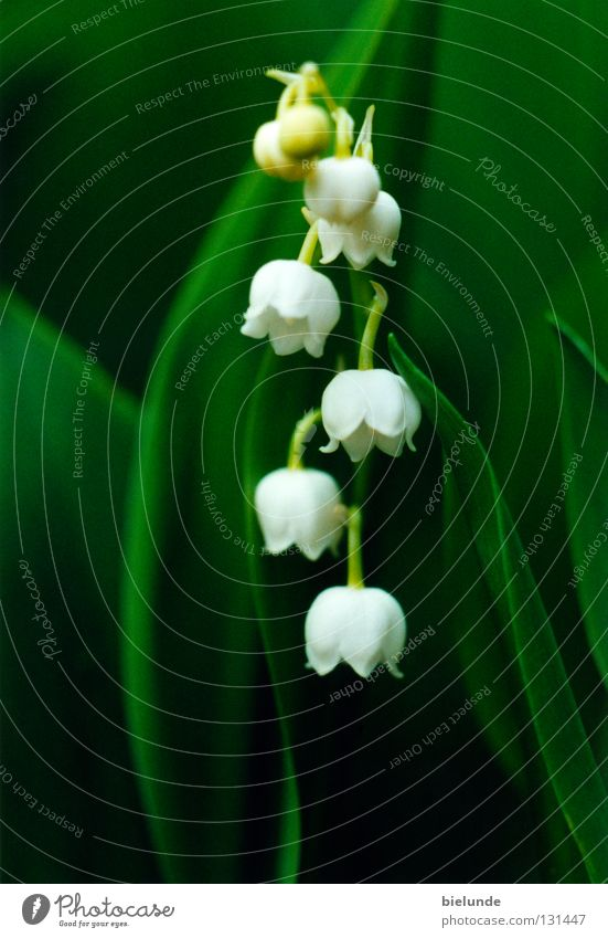 Nature Flower Green Plant Meadow Earth Fresh Part Lily of the valley