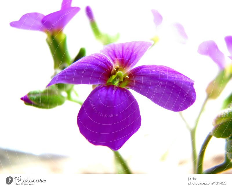 Nature Beautiful Flower Blossom Garden Violet Mountain madwort