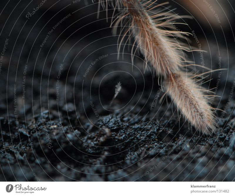One leg Copy Space bottom Copy Space left Partially visible Section of image Detail Spider legs Legs giant bird-eating spider Earth Terrarium Bird-eating spider