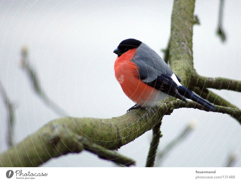 Tree Loneliness Winter Cold Autumn Bird Wait Branch Twig Freeze Songbirds Animal Finch Bullfinch
