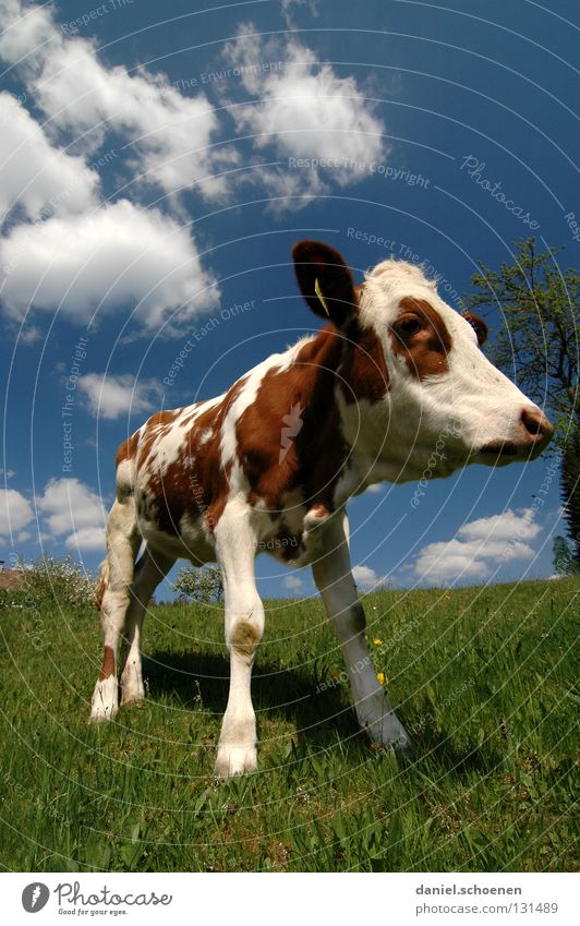 wide-angle calf Calf Cow Wide angle Agriculture Animal Meadow Summer Spring Green Cyan Vacation & Travel Black Forest Environment Habitat Ecological Clouds