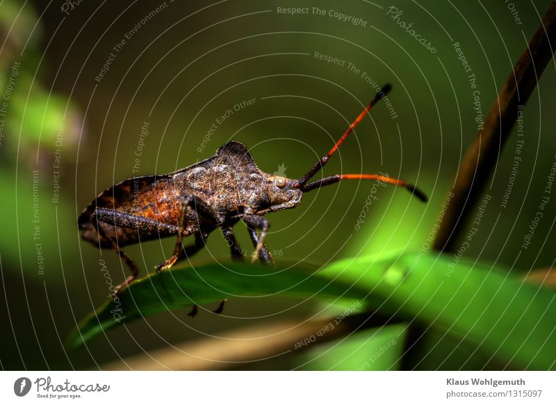 On the lookout Environment Nature Animal Summer Autumn Leaf Park Meadow Forest Beetle Bug Shield bug 1 Sit Stand Wait Exotic Creepy Brown Gray Green Black