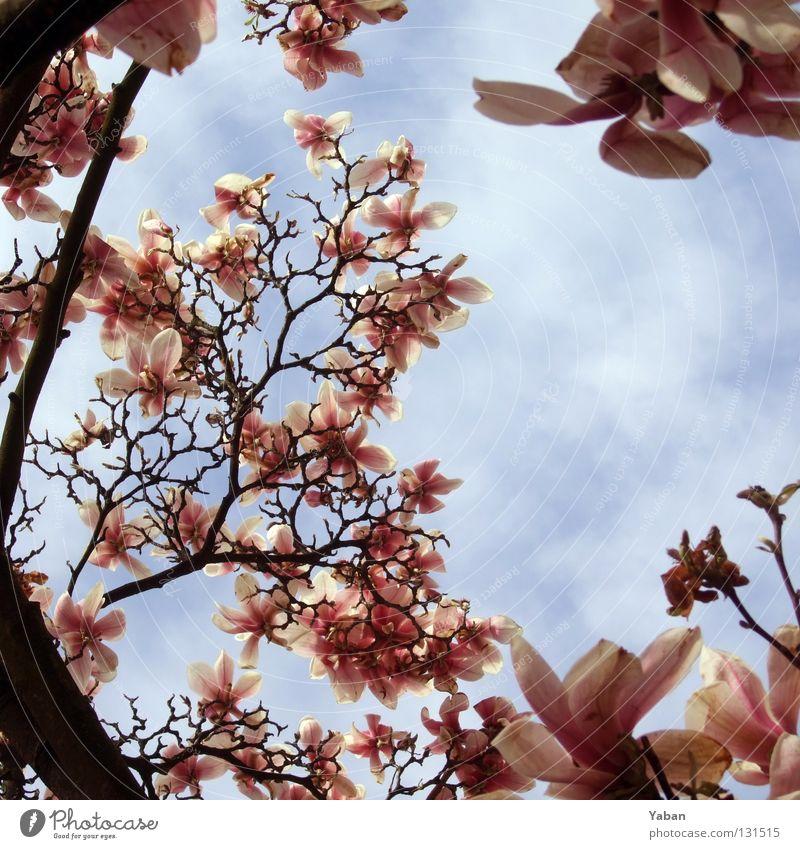 Sky Tree Summer Blossom Spring Warmth Pink Bushes Violet Blossoming Seasons Pallid Magnolia plants Angiosperm