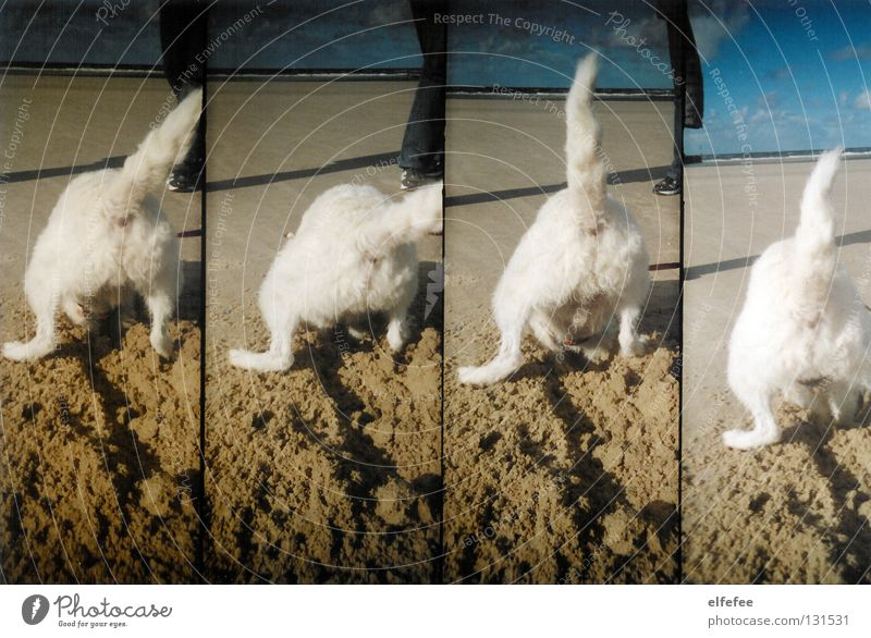 White Ocean Joy Beach Vacation & Travel Animal Happy Dog Sand Soft Bottle Hollow Mammal North Sea Pet Poodle