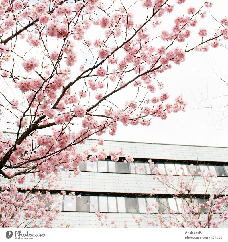 pink Pink Blossom Cherry blossom Japan Cottbus Tree Converse Pastel tone House (Residential Structure) Spring April May Summery Easy tree blossom fruit blossom