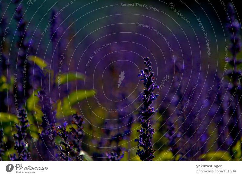 lavender Violet Lavender Plant Animal Blossom Autumn Summer Fragrance Medicinal plant