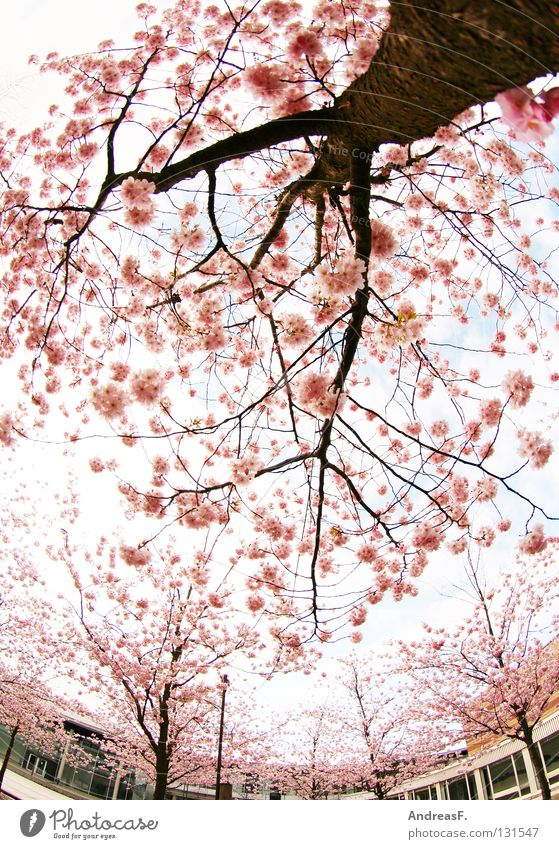 Tree House (Residential Structure) Blossom Spring Park Pink Asia Exceptional Perspective Branch Easy Japan Converse May Fisheye Summery