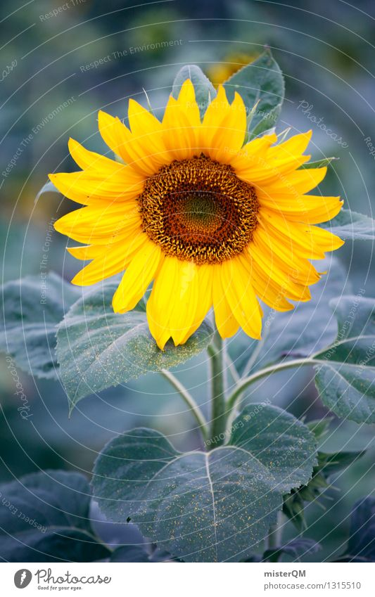 Morning Sun II Environment Nature Esthetic Sunflower Sunflower seed Sunflower field Sunflower oil Plant Agriculture Yellow Colour photo Subdued colour