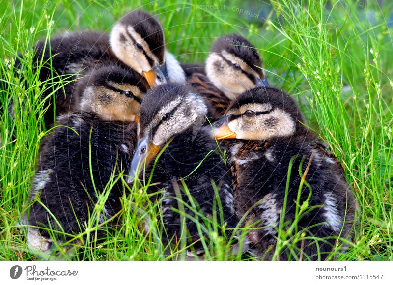 "nursery Nature Animal Park Wild animal Bird Mallard Chick Group of animals Baby animal Animal family Cuddly ""duck ducks Duckling Helpless Small Cuddling"