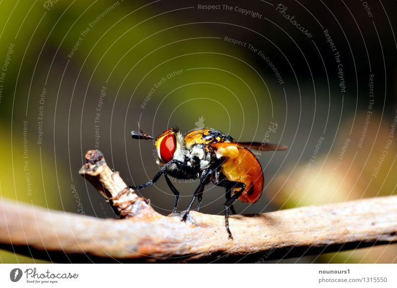 "Small caterpillar fly Nature Animal Wild animal Fly Wing midget 1 Fat ""Branch faceted eyes Feeler gymnosoma rotundatum Insect macro Orange suckingrüssel"""