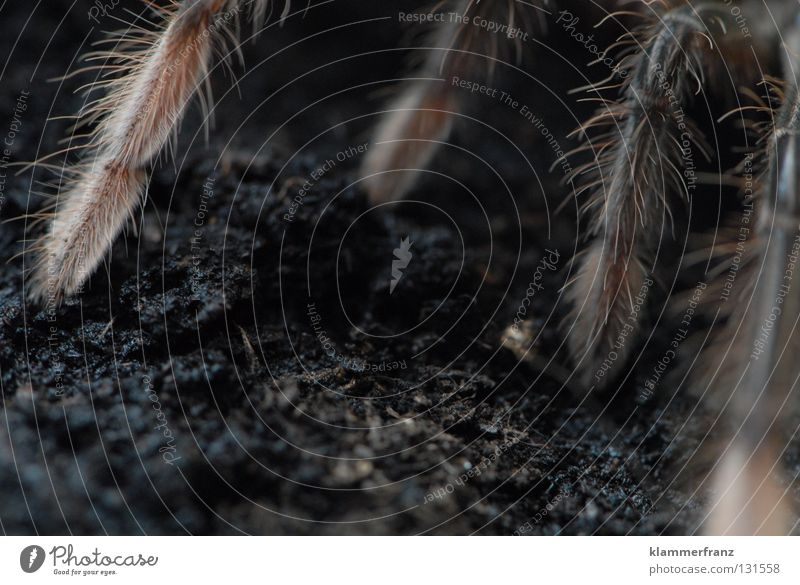 On all fours theraphosa Bird-eating spider Terrarium Earth giant bird-eating spider Legs Spider legs Detail Section of image Copy Space bottom