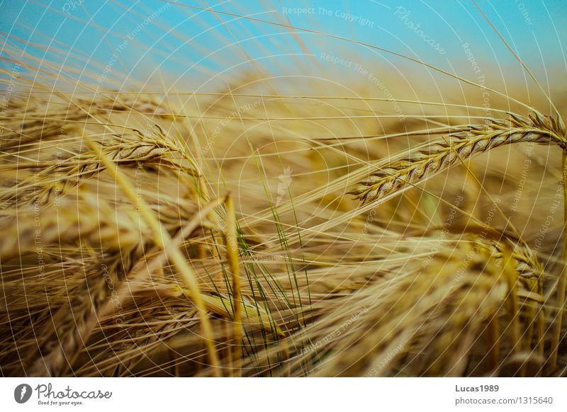 cereals Environment Nature Summer Climate Plant Grain Wheat Oats Barley Field Agriculture Sky Organic produce Vegetarian diet Vegan diet Health care Diet Eating
