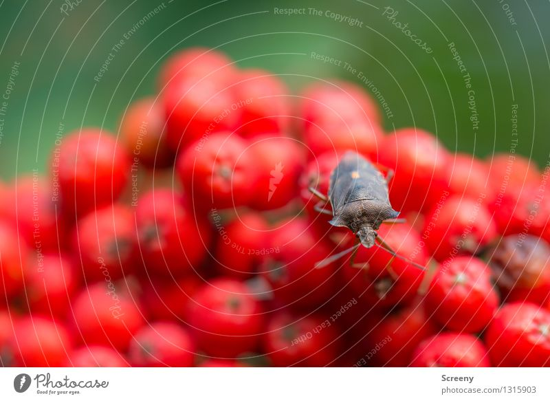 Nature Plant Green Summer Red Landscape Animal Forest Small Brown Wild animal Sit Curiosity Serene Beetle Rowan tree