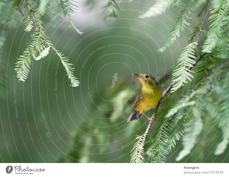 A Bianchi's Warbler hunting for insect Bird Wild Nature Green Tree Leaf warbler bird watching Natural Neutral Background Structures and shapes Advertisement