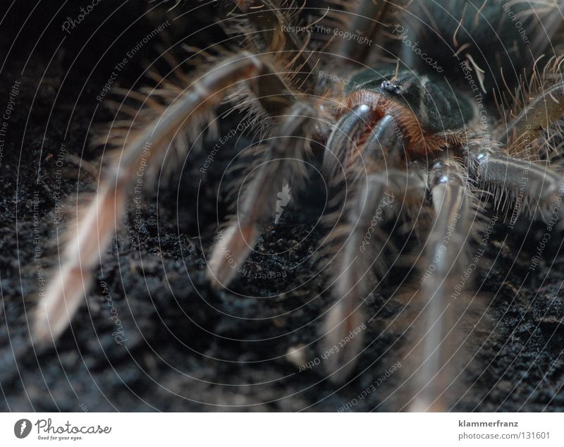 Come closer, darling... Section of image Detail Spider legs Legs giant bird-eating spider Macro (Extreme close-up) Earth Terrarium Bird-eating spider theraphosa