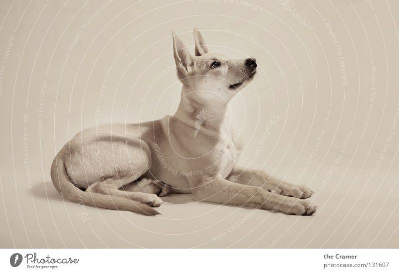 Dog Beautiful Animal Lie Nose Listening Watchfulness Upward Mammal Snout Loyalty Obedient Sepia Alert Puppy Monochrome