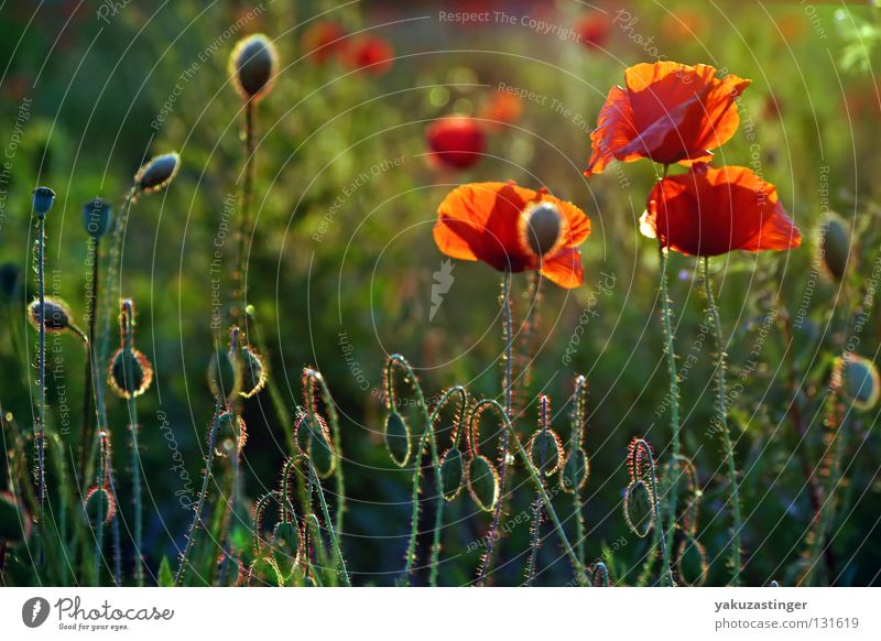 meadow zappler Red Tiny hair Green Grass Summer Spring Plant Animal Flower Poppy meadow