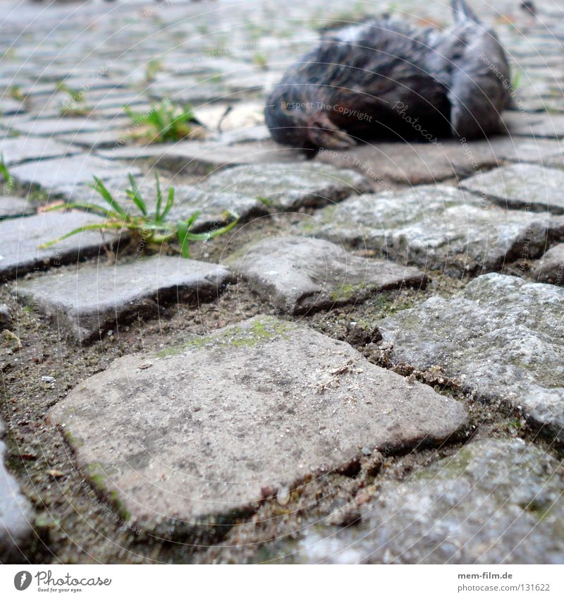 Death on the pavement Pigeon Bird Transience Grief Sidewalk Animal Distress roadkill Pain rats of the air fly a rat Cobblestones Old Sadness Paving stone