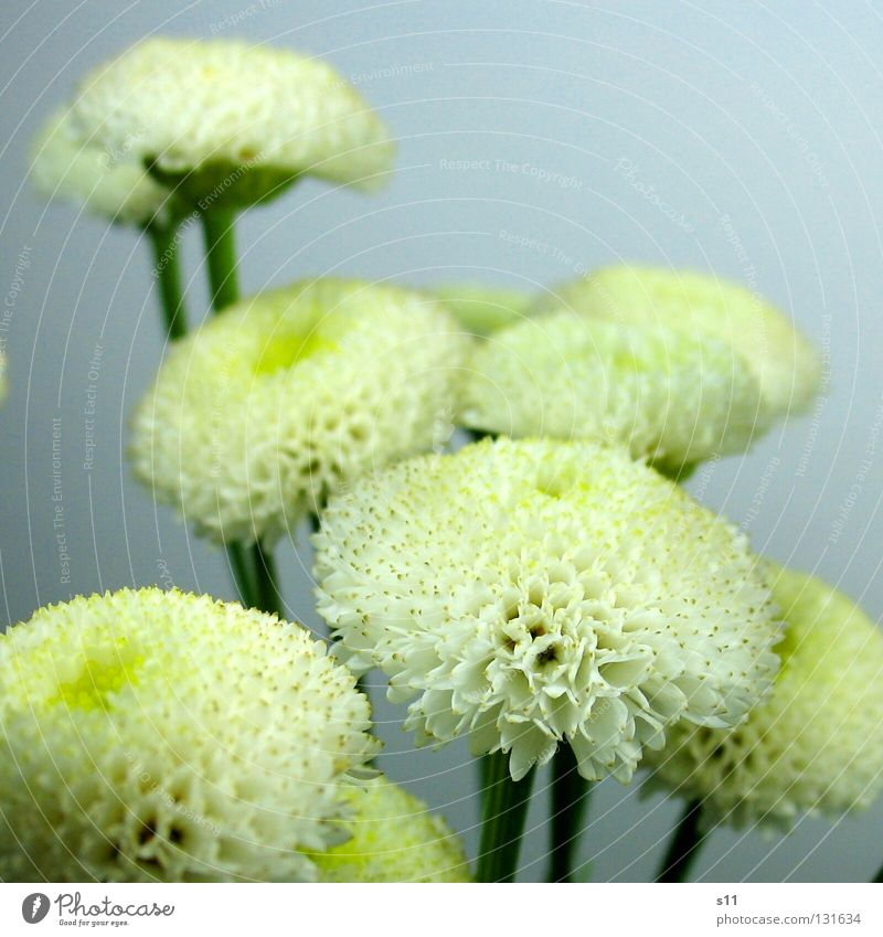 Nature White Plant Yellow Small Multiple Round Stalk Middle Bouquet Many Bud Blossom leave Center point Flower