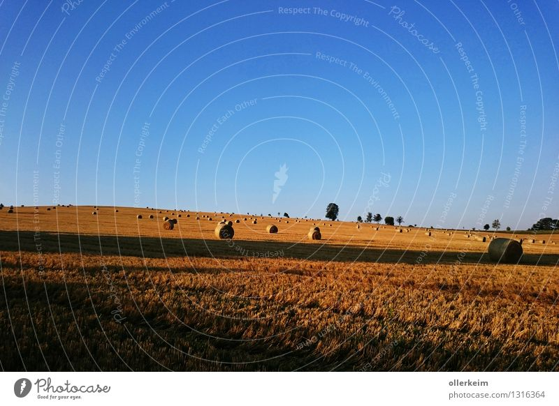 Gold rolls in the morning light Grain Trip Thanksgiving Agriculture Forestry Nature Earth Cloudless sky Sunrise Sunset Summer Autumn Beautiful weather Field