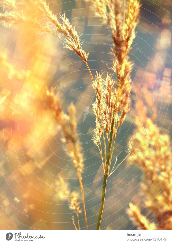 golden shimmer Environment Nature Summer Plant Grass Wild plant Garden Meadow Field Illuminate Growth Glittering Natural Gold Optimism Caution Calm Colour