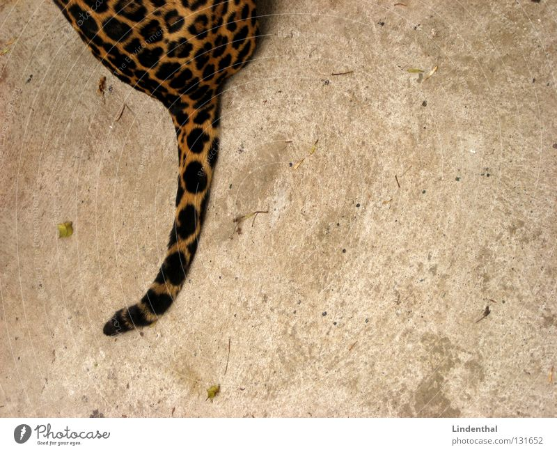 wildcat tail Pelt Cat Pattern Tails Animal Mammal Sit Hind quarters Copy Space right Partially visible Section of image Ocelot