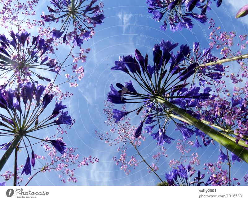celestial colours... Plant Sky Summer Beautiful weather Flower decorative lily agapanthus Garden Blossoming Illuminate Growth Esthetic Fragrance Natural Wild