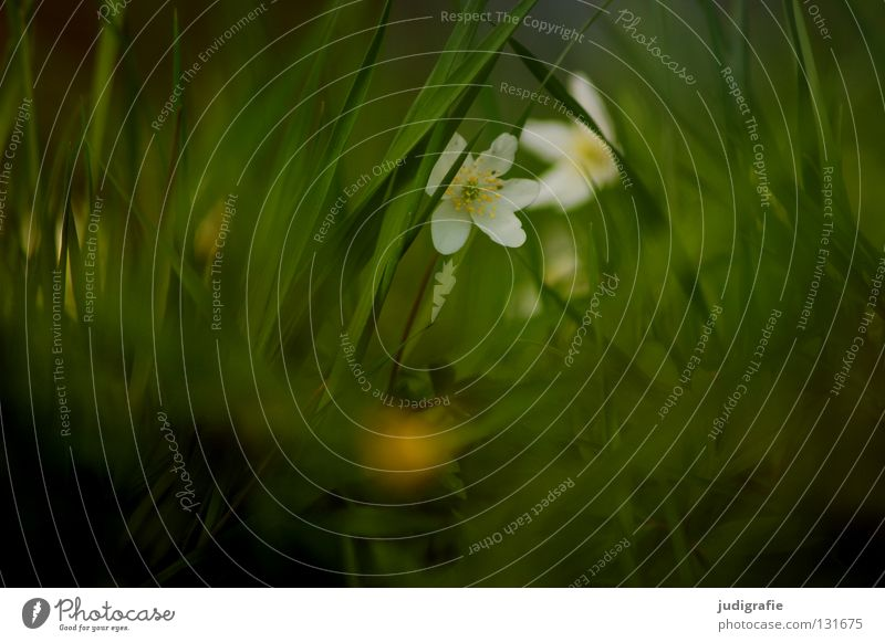 meadow Meadow Spring Wood anemone Poison Spring flowering plant Green White Delicate Flower Blossom Plant Environment Soft Fine Timidity Grass March April May