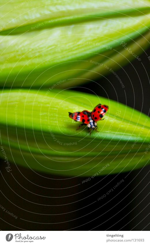 departure Ladybird Red Black Dappled Spotted Flying Wing Green Plant Small Insect Spring Beetle lie flat Bud