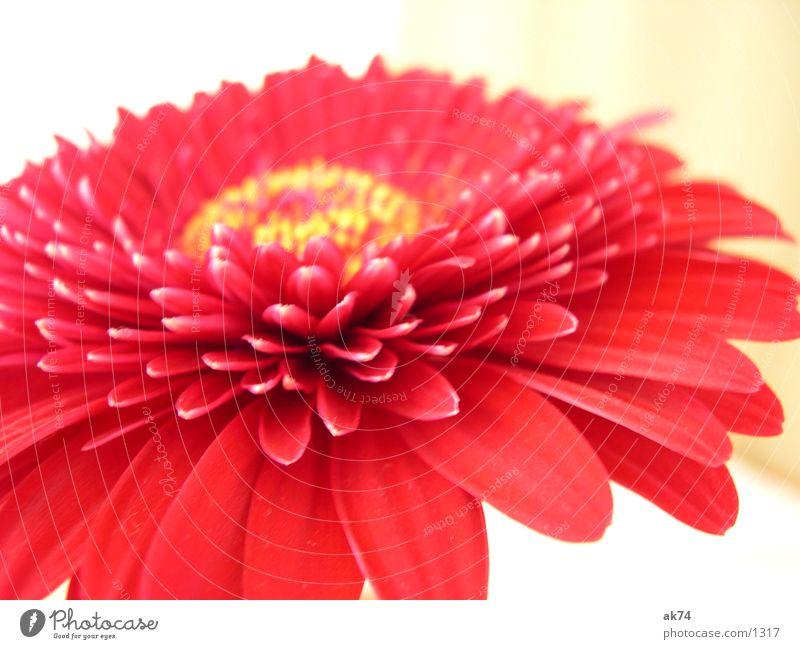Gerbara Blossom Red