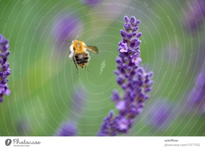 So, closing time! brööööö Nature Plant Animal Flower Blossom Meadow Bee 1 Flying Lavender Lavender field Honey bee Exterior shot Macro (Extreme close-up)